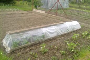 Jak pěstovat rajčata ve fóliovníku